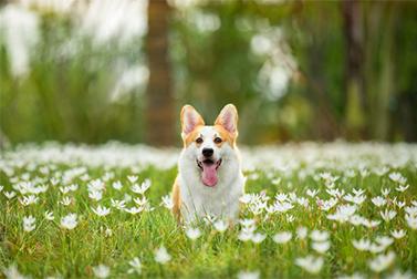 Les chiens peuvent - ils vraiment être formés pour détecter le coronavirus?